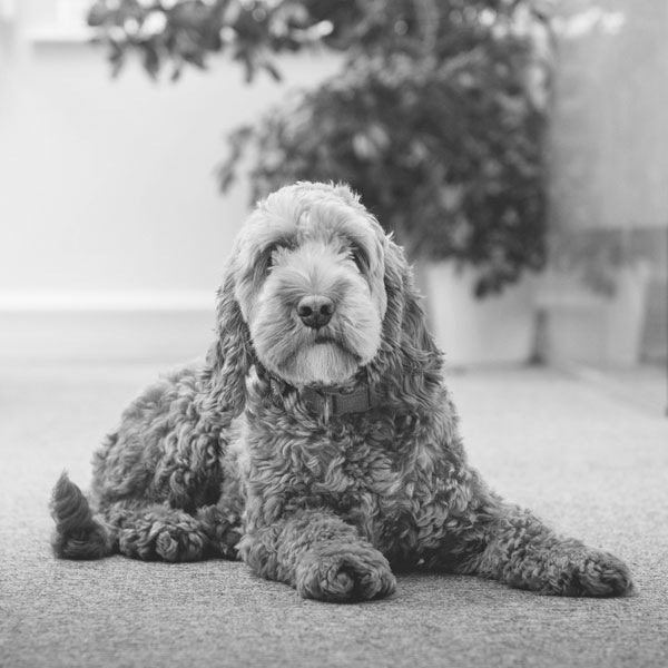 black and white photo of nancy, red cockapoo